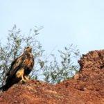 Aguila Mora juvenil en camino a Cafayate (Salta)